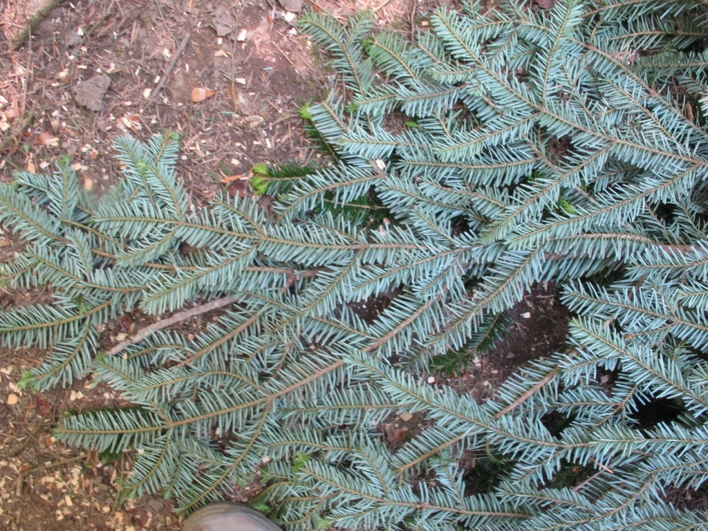 I always look at fake Christmas trees and think yuk ... yet they look exactly like these pine leaves.